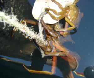 CrabHunt